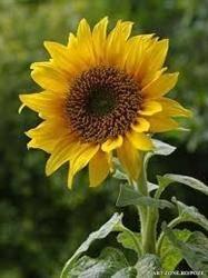 Floarea soarelui trateaza raceala, dar si bolile de piele